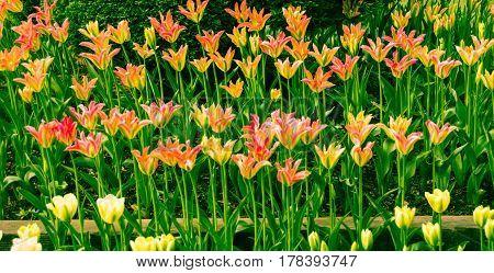 Annual Tulip Festival Skagit County Washington state