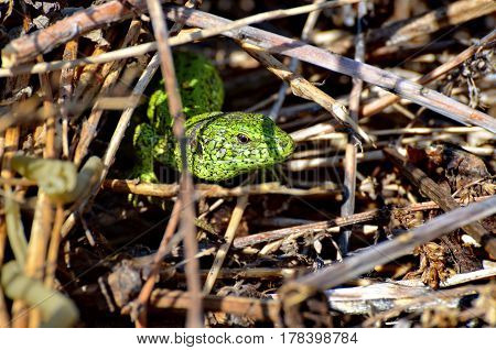 Close-up of the head of a green lizard (lat. Lacerta viridis, Lacerta agilis) in the grass. Excellent disguise. In the spring in the forest. Wild nature.