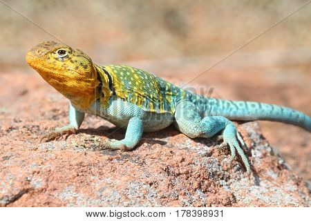 Colorful male Western Collard Lizard (Crotaphytus collaris) which is native to the southwestern United States poster