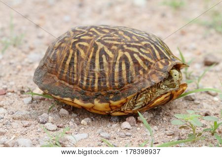 Desert Box Turtle (Terrapene ornata luteola) in New Mexico