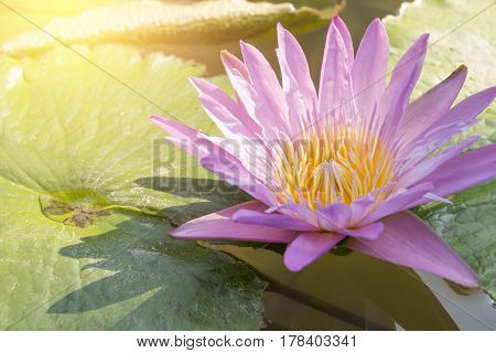 The pink lotus or waterlily at the pond with the lighting effect