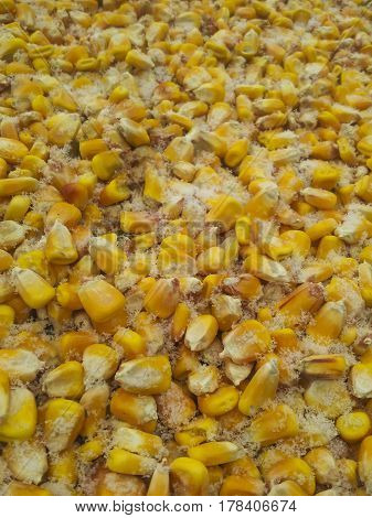 Unpicked corn in the field under snow