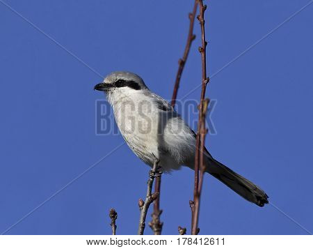 Northern grey shrike resting on a branch with blue skies in the background