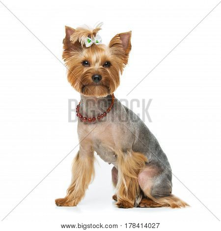 Beautiful pure bred yorkshire terrier female dog in natural stone necklace. Portrait isolated on white background. Copy space. Square.
