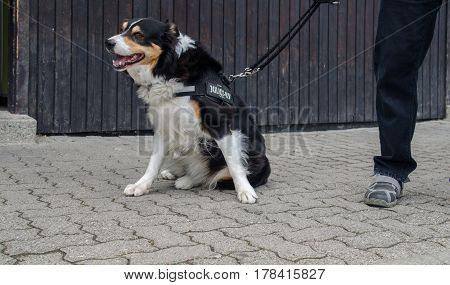 A police Border Collie dog next to his handler at city street