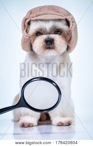 Shih tzu dog detective in cap looking on magnifier and searching for track. On bright white and blue background.