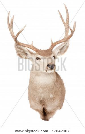 Typical Mule Deer
