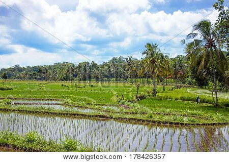 Rice field agricultural landscape in the countryside from Java Indonesia Asia