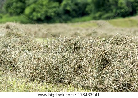 close up of hay in a windrow drying in an Ohio hay field