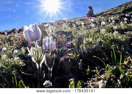 Man hiker in alpine meadows with pasque wildflowers. Independence Pass near Aspen. Colorado. United States.