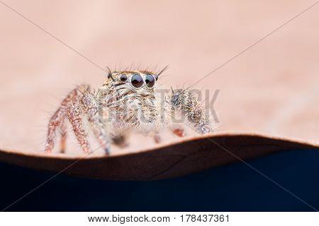 Super macro female Hyllus diardi or Jumping spider on dried leaf
