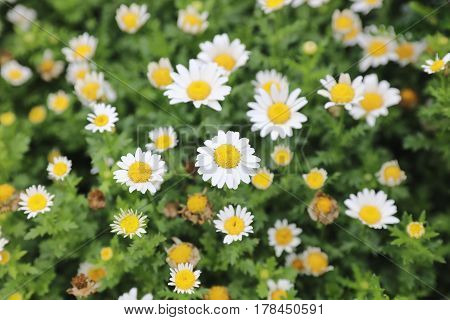 Snow Daisy, Perennial Herb With Shallowly