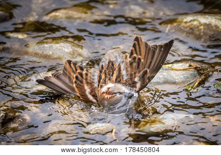 Male Sparrow Bathing