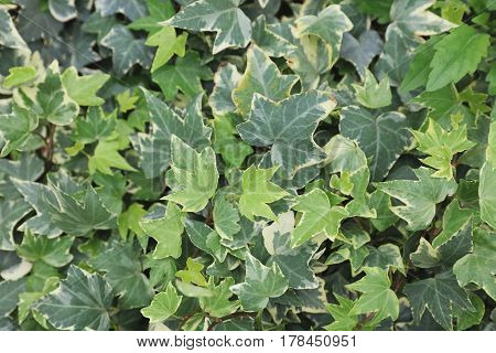 The Group Of Ivy At The Garden