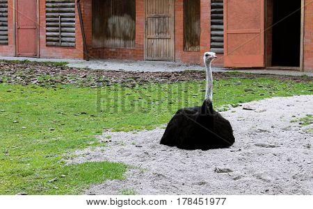 Фото черного африканского страуса в Калининградском зоопарке