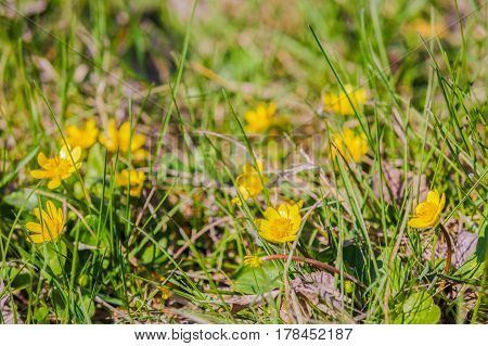 grass yellow wild flowers in spring time