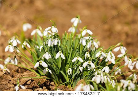 Delicate Snowdrop flower is one of the spring symbols telling us winter is leaving and we have warmer times ahead. Fresh green well complementing the white blossoms.
