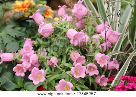 Ampanula Medium, Common Name Canterbury Bells,
