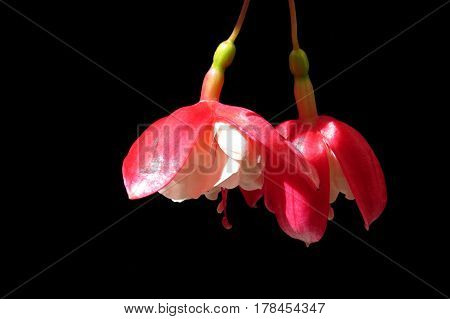 Red and white fuchsia flowers in  bloom against a black background