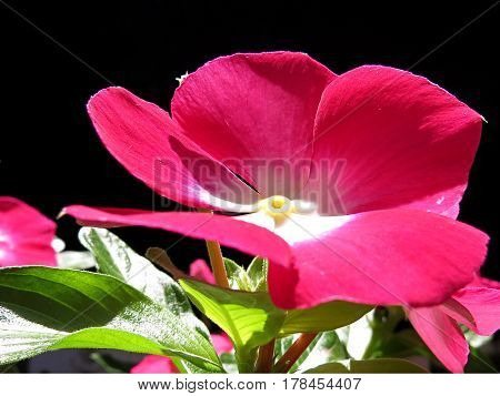 Close-up of a red impatiens busy lizzy flower against a black background