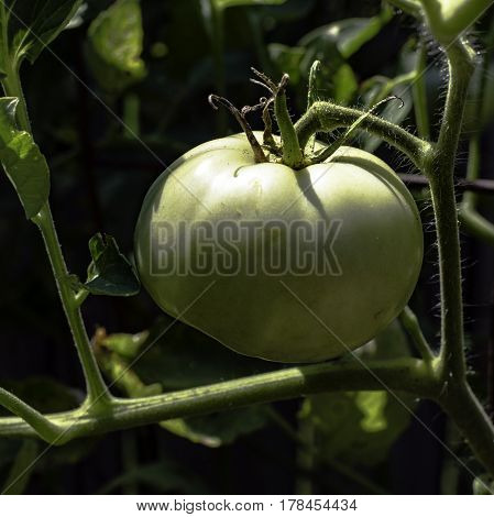 Green tomato on the vine in ambient light