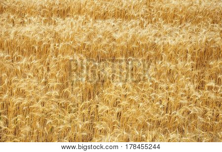 Wheat Field with Copy Space. Wheat Background. Wheat Texture Photo.