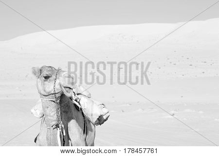 In Oman Empty Quarter Of Desert A Free Dromedary Near The  Sky