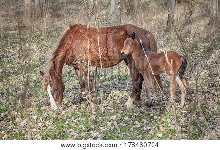 mother horse and colt grazing in the forest