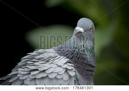 close up head shot and face of pigeon bird against natual green blur background