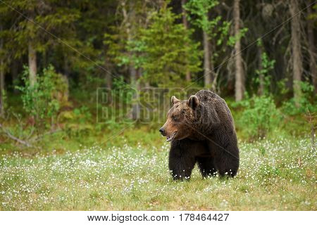 Beautiful male brown bear photographed in the taiga of northern Europe