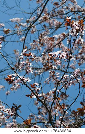 Spring Cherry blossoms. Pink flowers. Close up photo