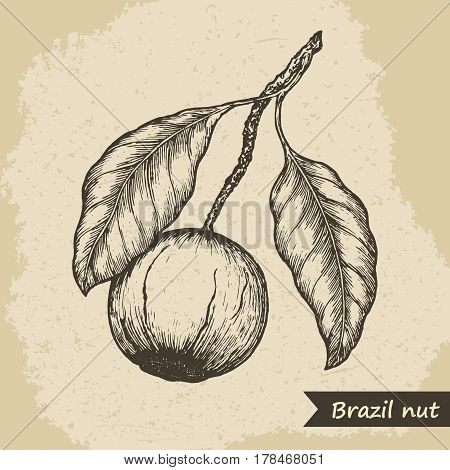 Brazil nut fruit, vintage engraved vector illustration.
