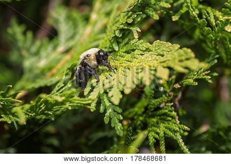 Bumblebee resting on a green cedar branch