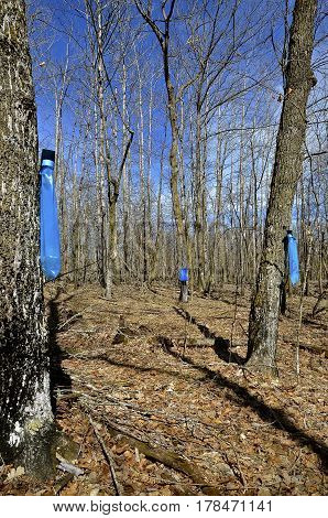 Blue bags hangs from maple trees as they collect sap in the spring