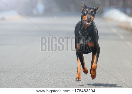 The Black Doberman Pinscher dog which runs on the road.