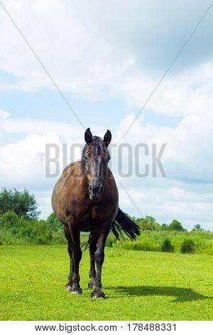 Dark brown horse standing in summer field. Scene of wildlife on pasture under cloudy blue sky. Wild horse on grassland, selective focus
