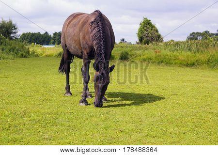 Dark brown horse standing in summer field. Scene of wildlife on pasture under cloudy blue sky. Wild horse graze in field