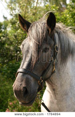 Black Headed Horse