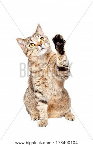 Playful curious cat Scottish Straight isolated on white background