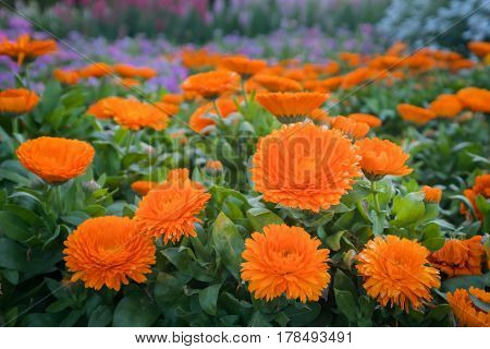 Orange Calendula or English Marigold in the garden at sunny day