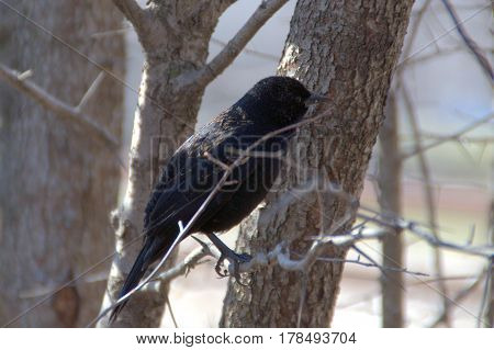 red winged black bird male in winter