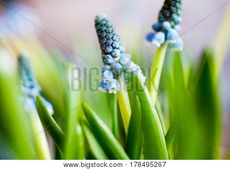 Close up of blue grape hyacinth