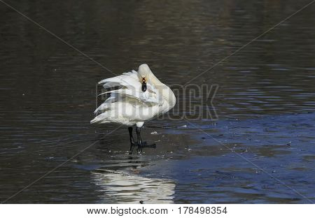 graceful white Swan preening its feathers while standing on the blue water