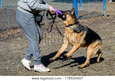 Shepherd Plays With The Owner In A Plastic Ring Toy On The Street.
