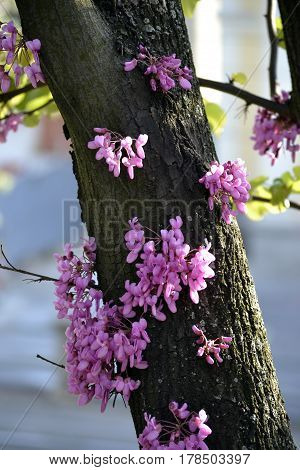 Flowers of Judas tree, that blooming before appearance of leaves