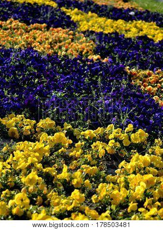 yellow, orange and purple garden pansies in the flower garden