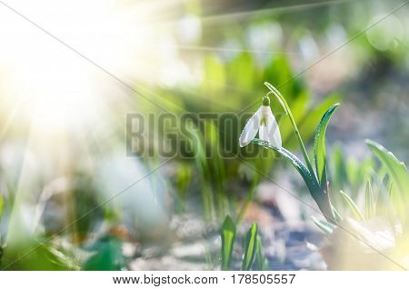Beautiful snowdrop on bokeh background in sunny spring forest. Easter picture with copy space