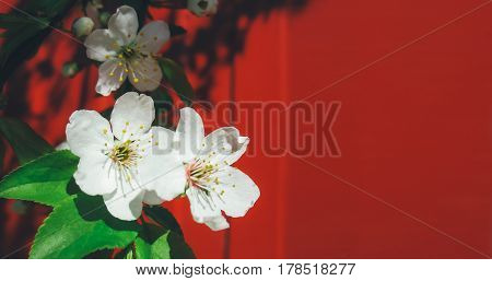Beautiful White Cherry Blossom in spring time season.Cherry blossoms in full bloom on a background against the red fence.Bright spring floral Wallpaper. Copy space.