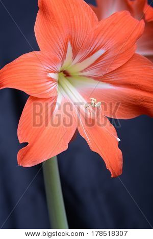 Red Lily Flower. Abstract Background. Close Up.