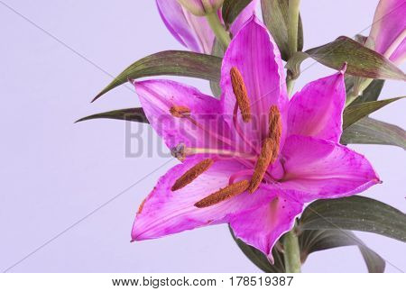 Macro image of a pink Tiger Lily. Taken with copy space on a lilac background
